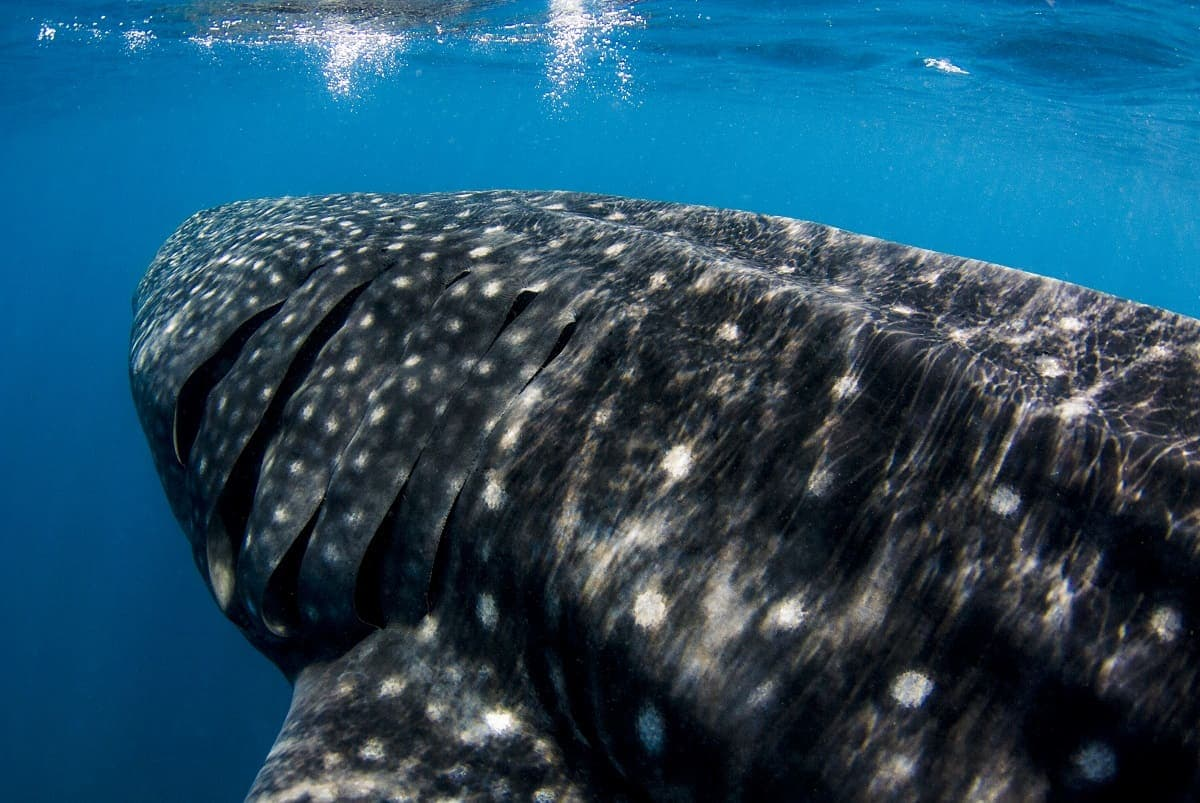 Whale Shark on the Manta Queen 6 Liveaboard, Thailand